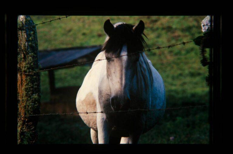 Égua pampa prenha no pasto atrás da cerca