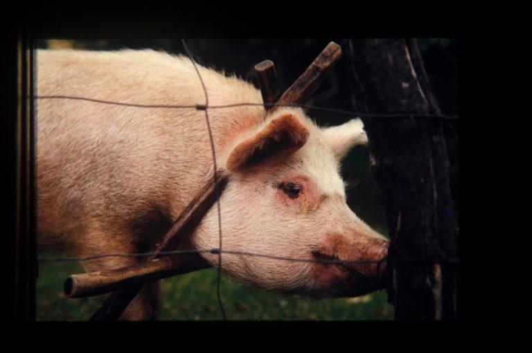 Porco com canga no pescoço para não varar a cerca