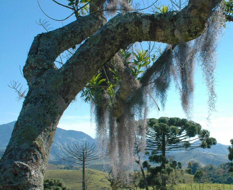 """Detalhe de fungos """"barba de bruxa"""" em árvore"""" na Serra da Mantiqueira"""